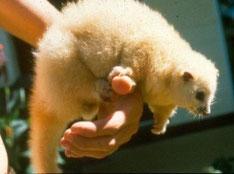 温度の上昇に弱く絶滅が危惧されるLemuroid ringtail possum Photo: EHP