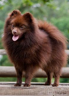 Pomeranian Hündin Kaba von der Arnold's Eiche.