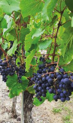 Domaine de Lavaur - AOC Cahors - 100 % malbec - Malbec rosé - Lot - vendange à la main - vieilli en fût de chêne