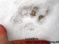 Luchsfährte am Bienenstand  der Harzer Gebirgsimkerei