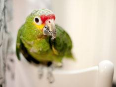 Papagei Rotstirnamazone