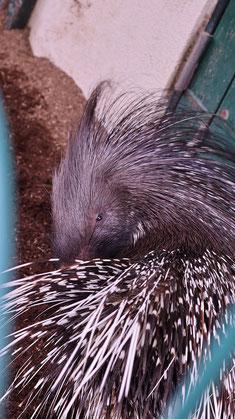 ヤマアラシ、アフリカタテガミヤマアラシ、哺乳類、動物園、動物の写真フリー素材 Porcupine, African Crested Porcupine, Mammals, Zoos, Animals Photos Free Material