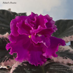 Rebel's Rosita