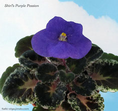 Shirl's Purple Passion