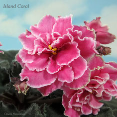 Island Coral