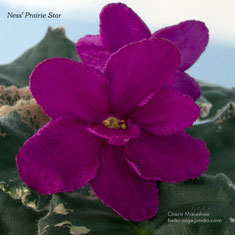 Ness' Prairie Star