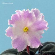 Blushing Ivory