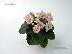 Petite Blarney