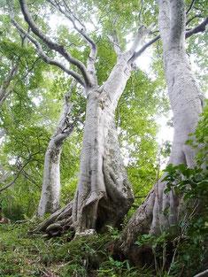 下駒ケ岳手前のブナ林