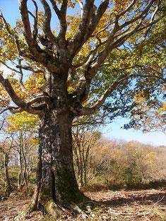 765ピークと桜谷山の中間にあるブナ巨木