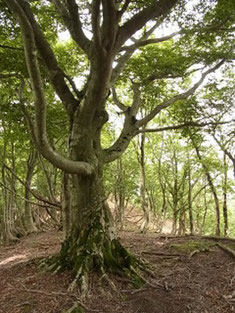 稜線上のブナの巨木、ちょっと芸術的な枝ぶり