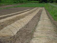 畝間敷き藁