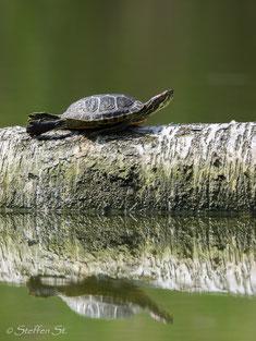 Rotwangen-Schmuckschildkröte (Trachemys scripta elegans)