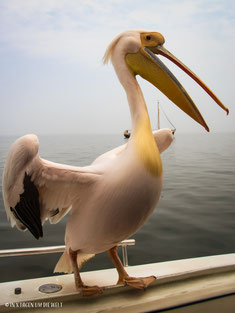 Pelikan, Walvis Bay, Katameran Tour, Swakopmund, Namibia