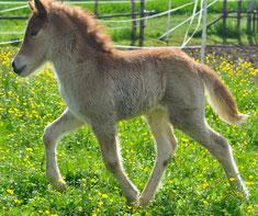 Zucht von Islandpferden im Raum München, islandpferde verkaufen, islandpferde münchen