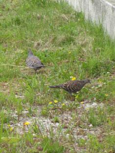 ぽっぽっぽろっぽ♪声の方向、向かいの空き地に目をやれば、いつもキジ鳩夫婦が。お昼ご飯中?*