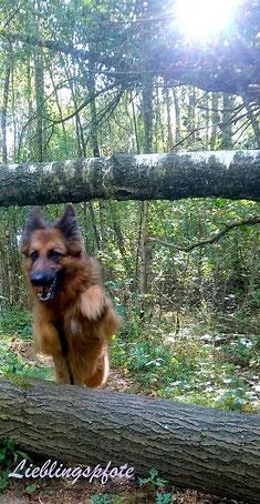 Hund springt über Baumstamm