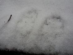 動物の足跡。これはテンか?