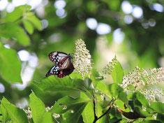 リョウブの花を吸蜜するアサギマダラ
