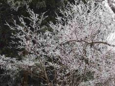 山頂ブナ林付近の樹氷