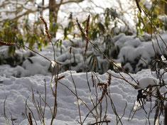 写真4 ミカエリソウについた氷花