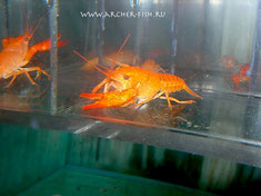 486963 Procambaris clarkii Orange g.br