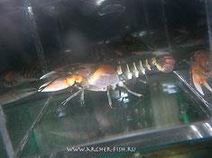 483022 Cherax peknyi (cf.misolicus)