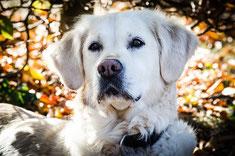 Une tête de chien golden retriever blanc couché dans un bois en automne par coach canin 16 éducateur canin en charente