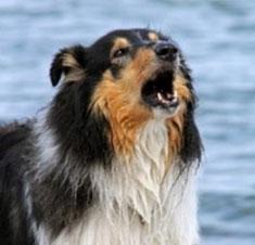 un chien colley aboie troubles du voisinage par coach canin 16 dresseur de chien à domicile en charente
