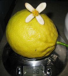 Это плод сорта Киевский лимон.Подробности в ссылке -лимоны.