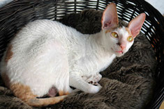 Cornish rex Virginia