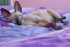 Cornish rex Margo kastriert
