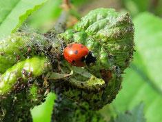 Natürliche Schädlingsbekämpfung durch Artenvielfalt: Der Marienkäfer hat Blattläuse zum Fressen gern.