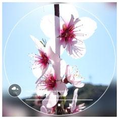 アーモンドの花 花見場所として、観光情報発信