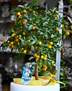 Kumquat Zitruspflanze