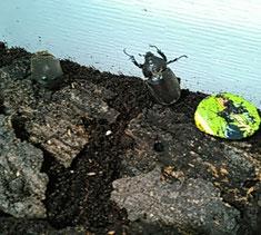 カブトムシの成虫(メス)。