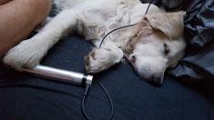 Powertube Behandlung Hund Golden Retriever