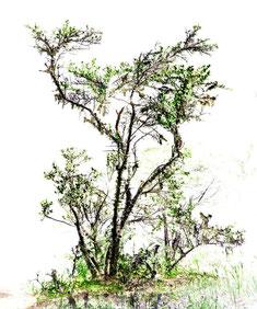 アフリカンツリーエッセンス 慈愛の木 スパイクソーン
