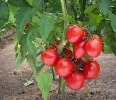 Blog Archi'Tendances, rubrique jardin, tomate
