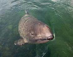 Schweinswal - Foto: SeaBeas.com