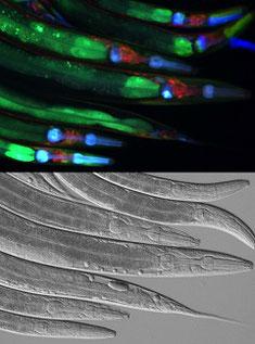組織によってスプライシングパターンが異なる三色レポーター線虫