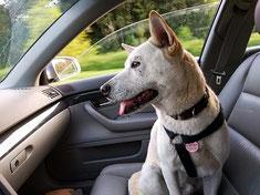 Un chien berger blanc assis dans une voiture attaché à une ceinture de sécurité par coach canin 16 éducateur canin angoulême