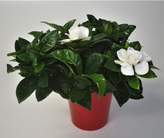 Gardenia in rode keramiek pot