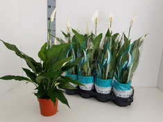 Spathiphyllum in Absolute hoes