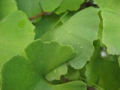 Gingko biloba, symbole de longévité