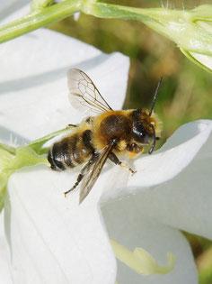 04.06.2016 : Blattschneiderbiene