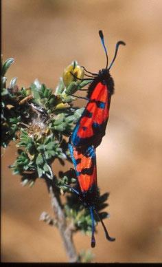 Z. alluaudi alluaudi (Moyen Atlas central)
