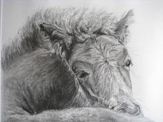 Fohlen Islandpferd