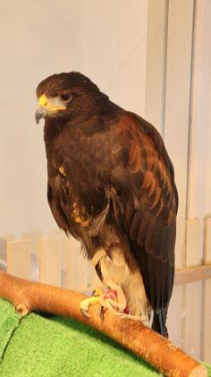 鷹、タカ、モモアカノスリ、ハリスホーク、鳥、動物の写真フリー素材 Hawk, Harris's hawk, bird, animal photo free material