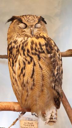 ベンガルワシミミズク、ミミズク、フクロウ、鳥、動物の写真フリー素材 Bengal Eagle Owl, Indian Eagle Owl, Owl, Bird, Animal Photos Free Material